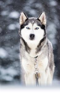 chiens-husky-alaska